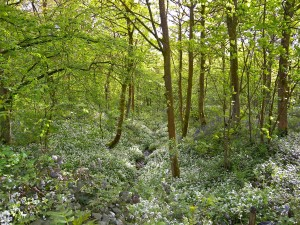 Spring Wood Whalley 2015 May (2)
