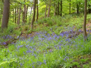Spring Wood Whalley 2015 May (3)