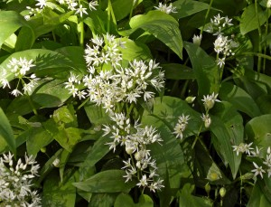Spring Wood Whalley 2015 May (5)