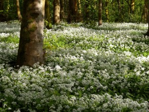 Spring Wood Whalley 2015 May (6)