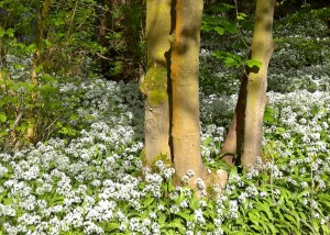 Spring Wood Whalley 2015 May (8)