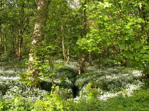 Spring Wood Whalley 2015 May (9)