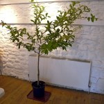 Medlar tree to celebrate the life of  John Tyldesley